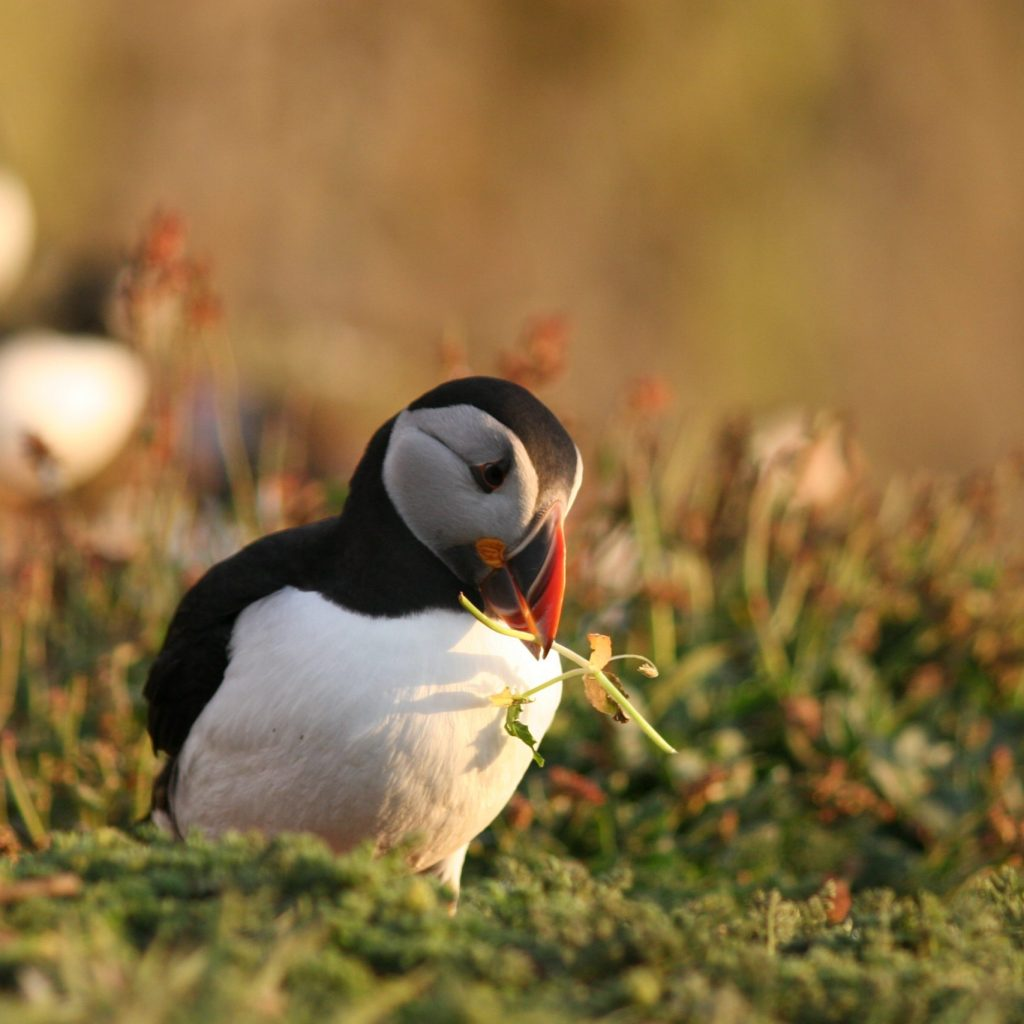 Puffin © Dr Sarah Perry